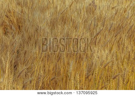 Wheat field. Golden field of wheat. Harvest time. Wheat crop ready for harvest.