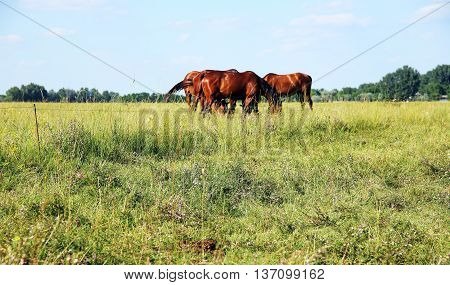 Panoramic View Of Herd Of Horses When Grazing On Meadow