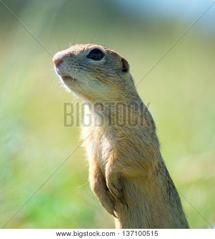 prairie dog on field in summer time