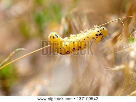 yellow caterpillar crawling a branch in spring