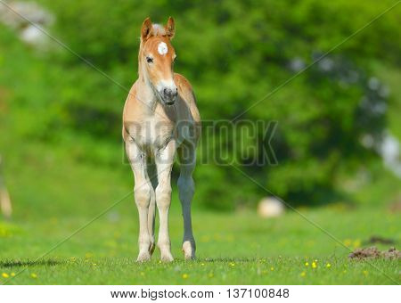 little foal in the meadow in spring time