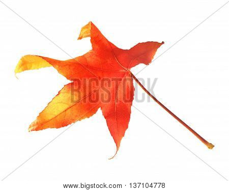 maple leaf in autumn, isolated on white background.