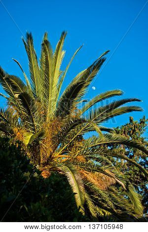 Palm tree at golden hour with full moon in background, Sithonia, Greece