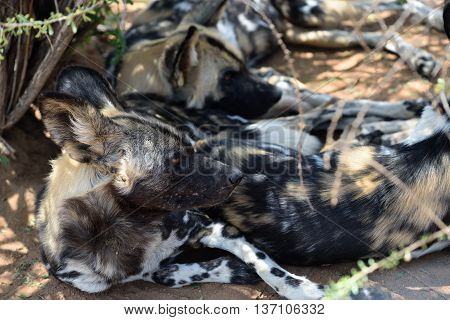 Group of the African Wild Dogs resting in shadow in the bushveld Namibia Africa