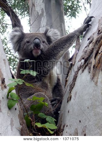 Cool Looking Koala