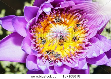 Among bees for nectar on a lotus flower with a purple sunlight.