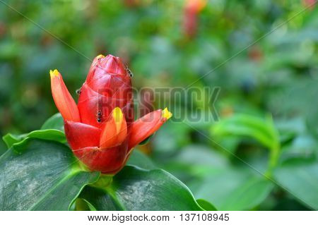 Indian Head Ginger, Costus woodsonii, Family Costaceae, Central of Thailand