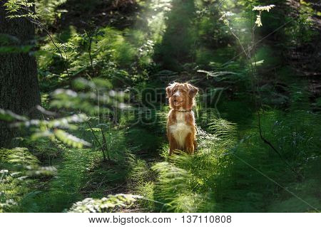 Nova Scotia Duck Tolling Retriever. Dog outdoors in the woods