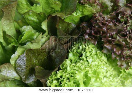 Lettuce Variety