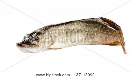 Fresh pike isolated on white background, side view