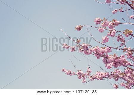 Pink Sakura blossom and blue sky springy textured