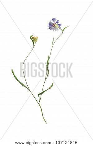 Pressed and dried flower cornflower on stem with green leaves. Isolated on white background. For use in scrapbooking floristry (oshibana) or herbarium.