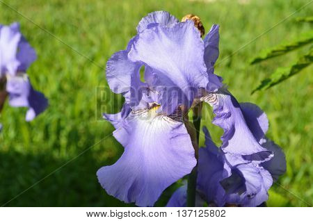 Bearded iris. The sort of