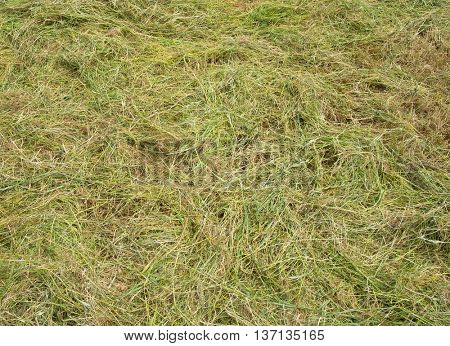 Freshly cut long grass close up.