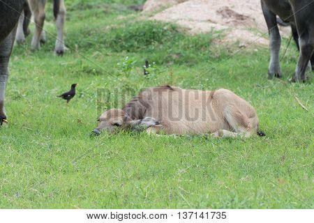 black calf buffalo sleep in the garden