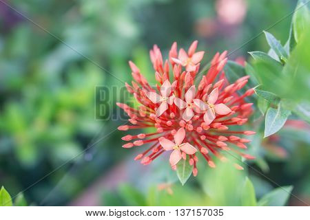 Red ixora with green leaves as background in the garden.