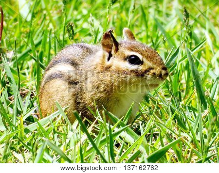 Chipmunk in High Park of Toronto Ontario 24 May 2016 Canada