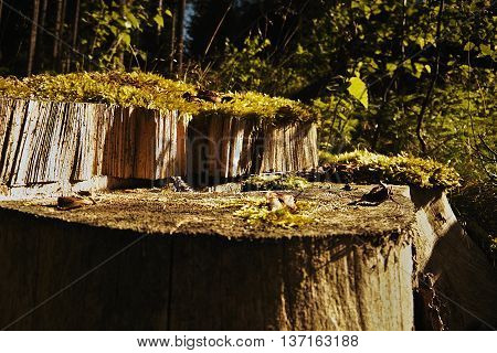 stump in the woods above the village Brezova at sunrise in czech nature