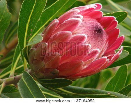 Protea From Kirstenbosch Botanical Gardens Cape Town South Africa