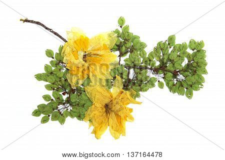 elm brunch pressed green seeds dry delicate big yellow narcissus flowers and petals isolated background