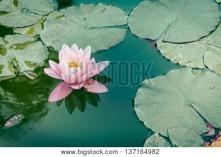 White rose water lily flower on pond.