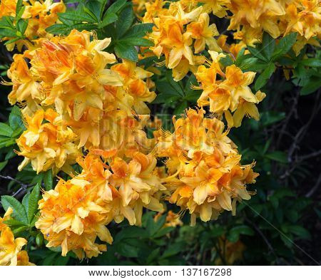 Bunches of yellow and orange flowers cover a green rhododendron.