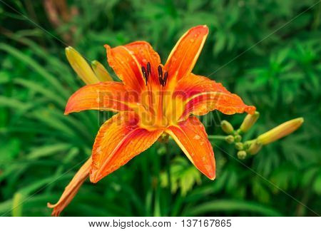 the beautiful big flower of a lily of orange and red shades grows in a grass