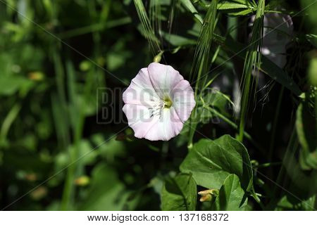 Flowering field bindweed (Convolvulus arvensis) in a field.