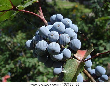 Mahonia Aquifolium Blue Fruit And Green Leaves