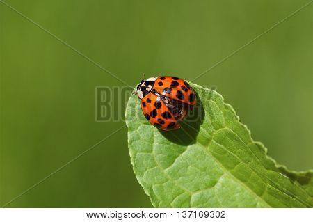 A harlequin ladybird or Ladybug (Harmonia axyridis) on a leaf.