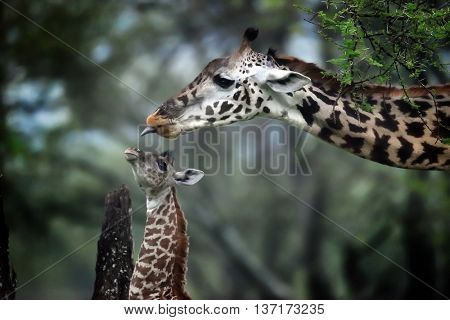 Giraffe mother and baby in natural park