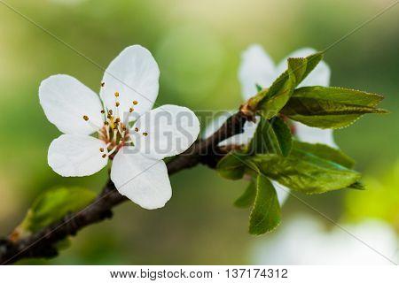 Plum Blossom Close Up, White Flowers