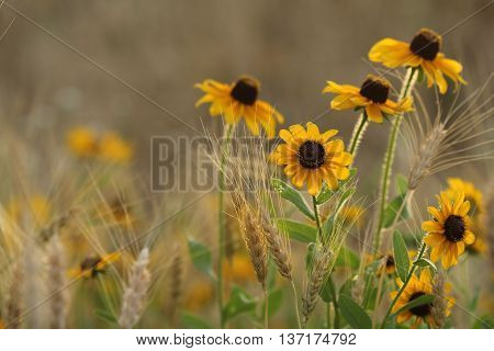 Black Eyed Susan's and wheat grass with blurred background.