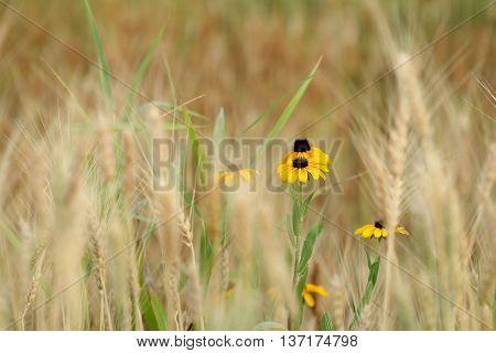Black Eyed Susan's isolated by wheat in field.