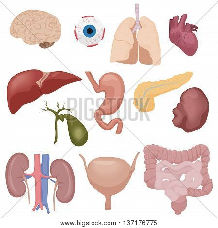 Human body internal parts organs set isolated. Vector Illustration