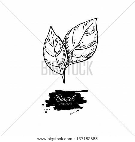 Basil vector drawing. Isolated Basil leaves. Herbal engraved style illustration. Detailed organic product sketch. Cooking spicy ingredient