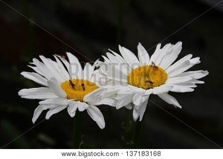 Nice marguerites with dark background detail close up