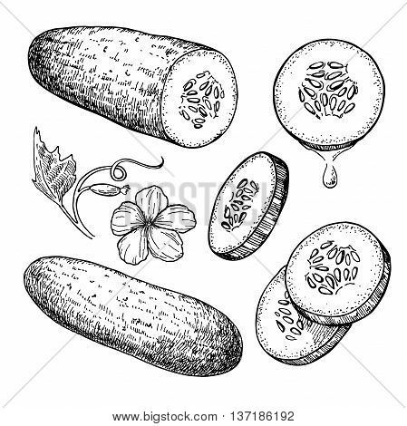 Cucumber hand drawn vector set. Isolated cucumber sliced pieces and plant. Vegetable engraved style illustration. Detailed vegetarian food drawing. Farm market product.