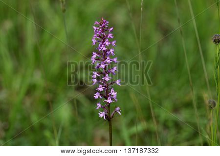 Flowers of a fragrant orchid (Gymnadenia conopsea) a wild growing orchid from Europe.