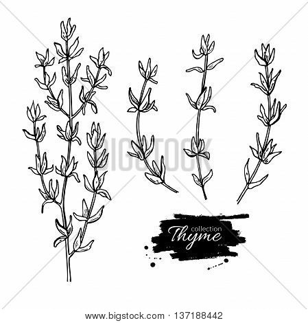 Thyme vector drawing set. Isolated thyme plant and leaves. Herbal engraved style illustration. Detailed organic product sketch. Cooking spicy ingredient