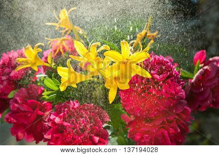 Summer bouquet flowers or background art with burgundy yellow blossom. Summertime. Beautiful nature scene with peonies and lilies with drops of water. Sunny day and rain. Abstract blurred background.