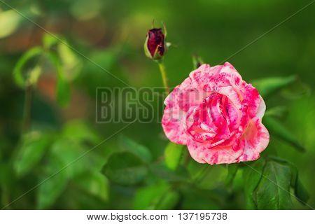 Pink Marbled Rose
