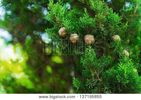 Cypress Trees Foto