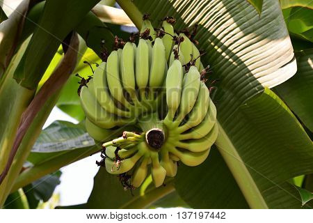 banana tree with fruits, Banana tree with a bunch of banana fruit on the banana garden