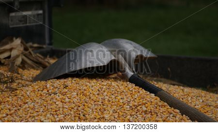 Corn kernel harvest with silver shovel in wagon