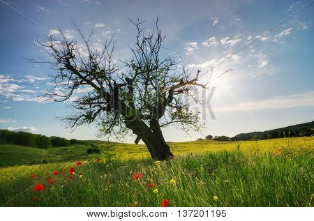 Old dead and dry tree in spring meadow. Nature composition.