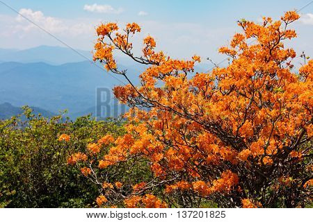 Flame Azaleas at Round Bald near Roan Mountain