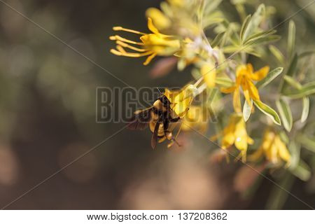 Black and yellow Western Bumble bee Bombus occidentalis gathers pollen in a Southern California garden in spring.