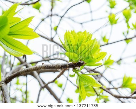 Cannonball leaf on tree nature background.nature view