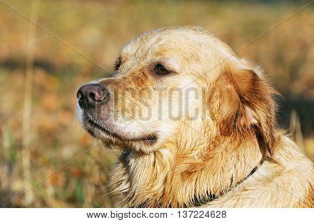 Labrador Retriever dog outdoors summer portrait over blurry background